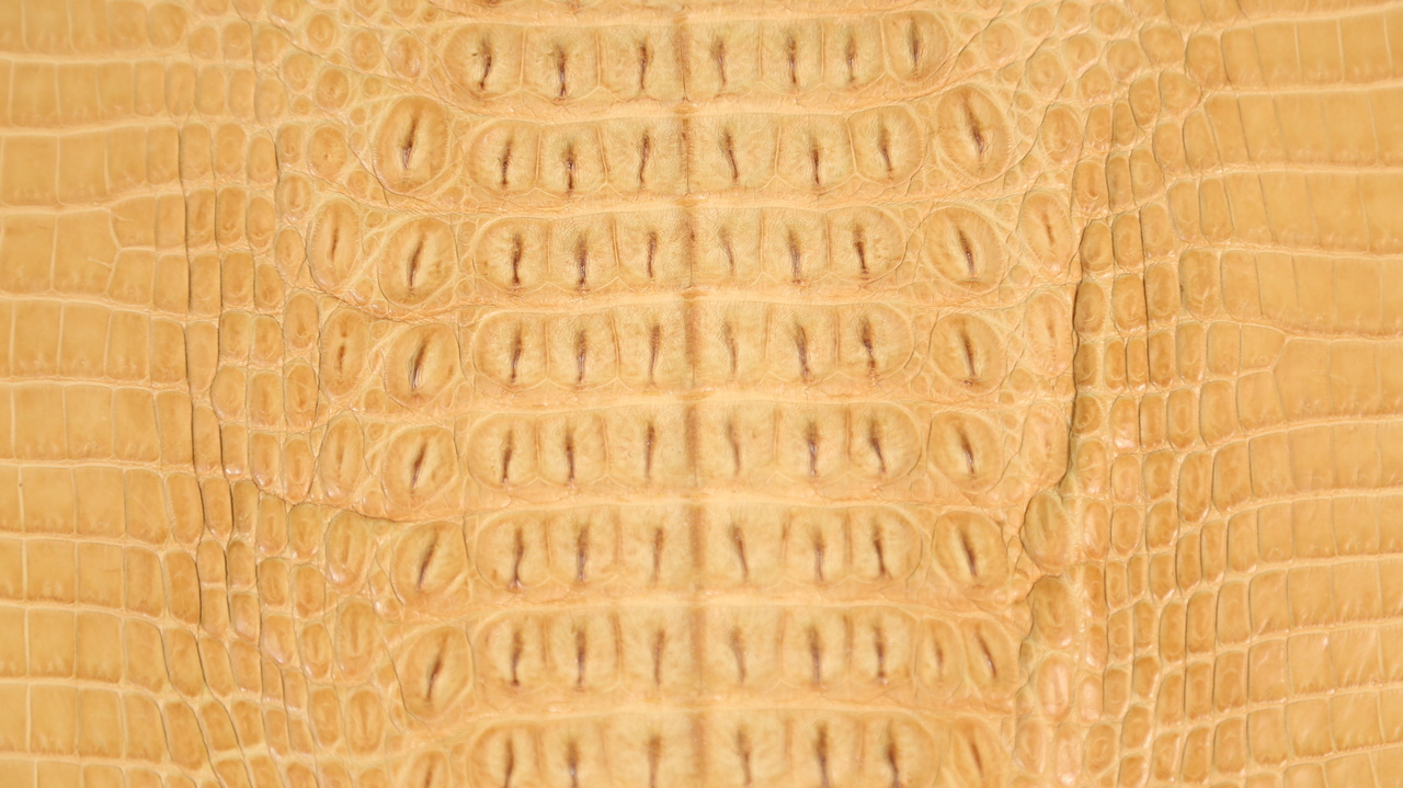 Genuine Crocodile Hornback Skin - Matte Finish in Buttercup